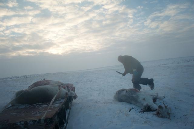 Разделывать туши необходимо сразу. Несмотря на сильный мороз, в туше могут начаться процессы гниения, если не вынуть внутренности