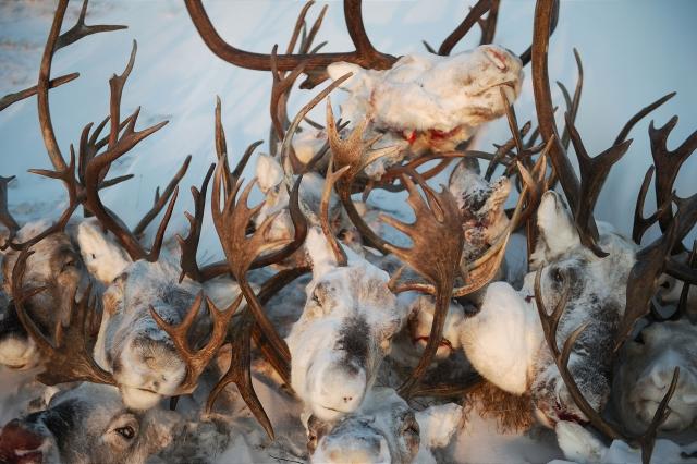 Головы оленей у промысловой избушки. Рога экспортируют в Южную Корею и в Китай. Там из них делают муку, которой кормят выращиваемый на фермах жемчуг