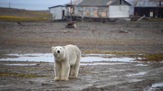 Новая Земля: белые медведи и поход за льдом
