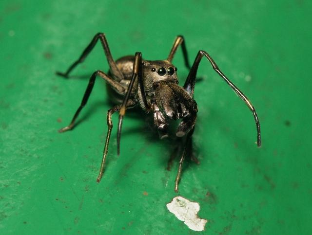 Учёные нашли пауков, самки которых кормят детёнышей молоком