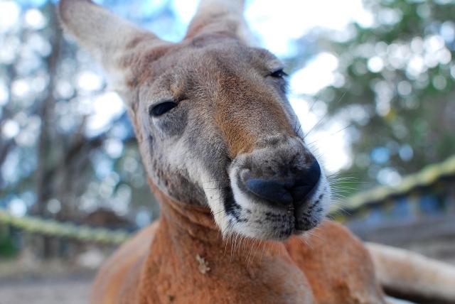 Мужчина из Австралии получил тюремный срок за убийство кенгуру