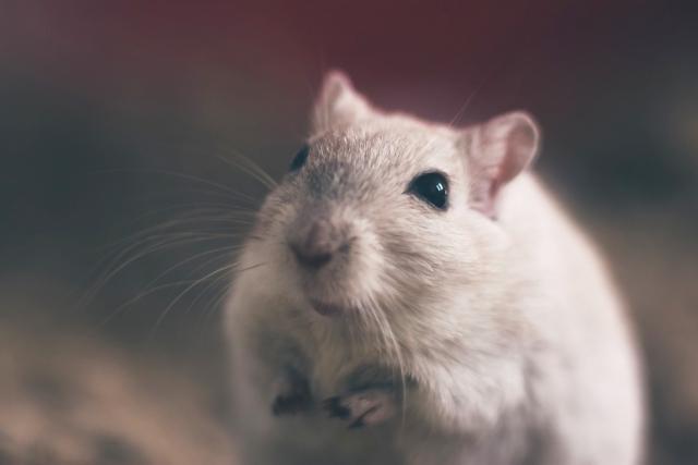 Эксперимент с мышами выявил снижение иммунитета в космосе