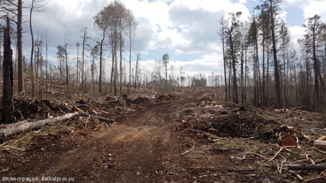 Так выглядит санитарная рубка леса в региональном заказнике Туколонь (Иркутская область). Иллюстрация к материалу ИА REGNUM