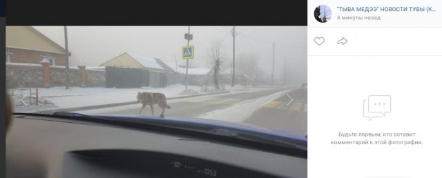 Соцсети: по улицам Кызыла бродил волк