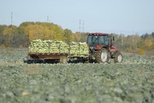 Уборка капусты в Ленобласти