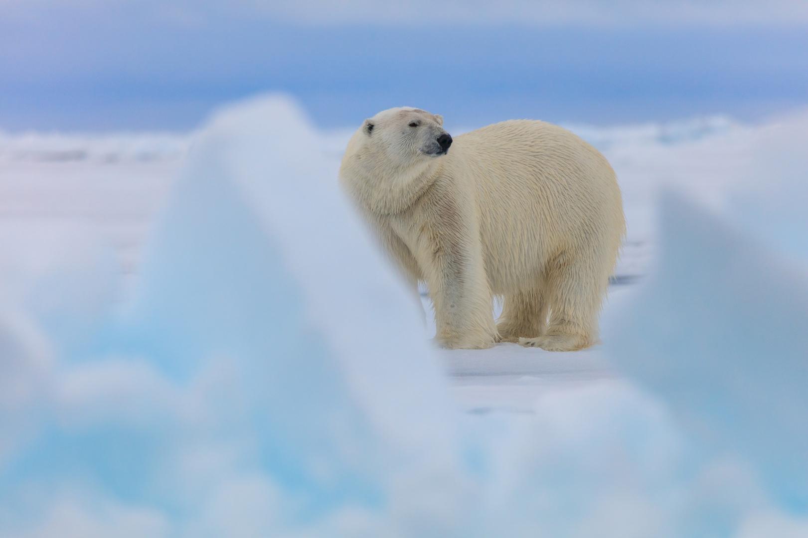 Картинки защита белых медведей