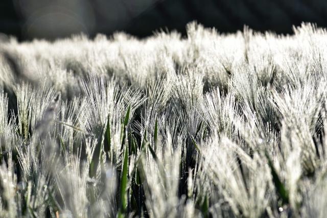 На полях Оренбуржья гибель грозит 18% озимых