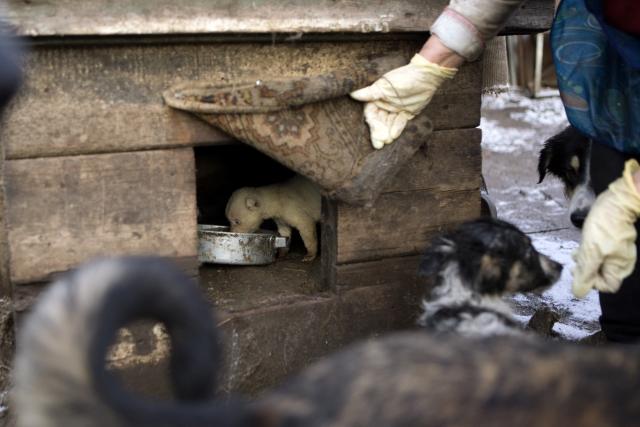 Щенкам здесь стараются уделять особое внимание — их кормят отдельно и не подпускают взрослых собак