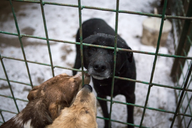 Многие собаки довольно свободно чувствуют себя в приюте, но есть и такие, которые побаиваются выходить из своих будок и вольеров. Особенно осторожно ведут себя те, что попали в приют после проживания в доме