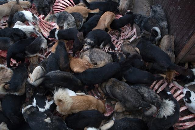Раз в неделю из мясокомбината привозят кости, и это настоящий гастрономический праздник для собак, правда, принять в нём участие решаются не все. Всё, что остается после такого пира, работники выносят за территорию приюта