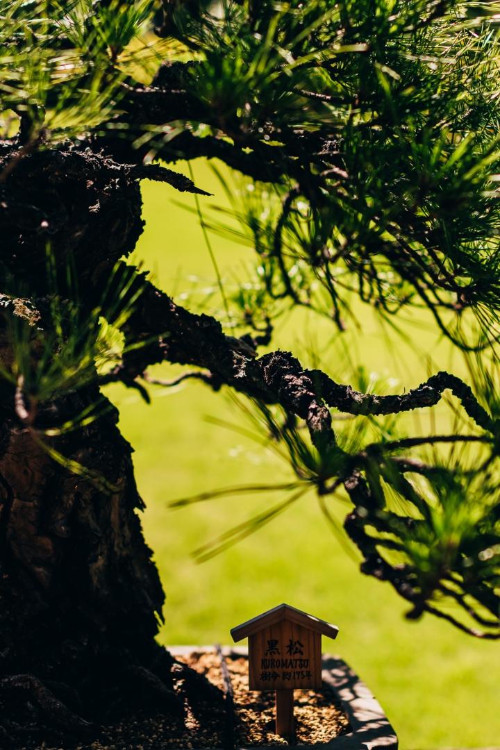 Миниатюрное дерево (бонсай) — 175-летняя чёрная сосна в парке Хаппоен