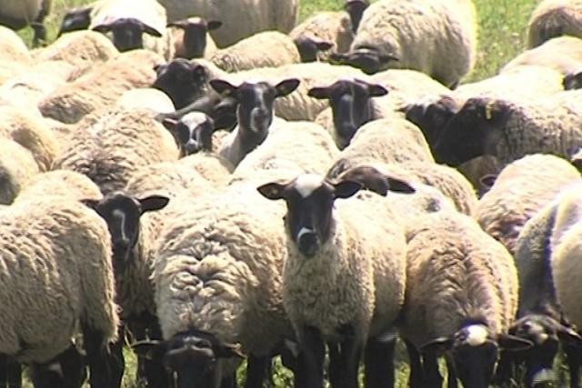 В Ярославской области возрождают романовскую породу овец