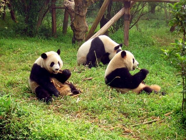 В Китае девочка попала в вольер к пандам, ее успели спасти