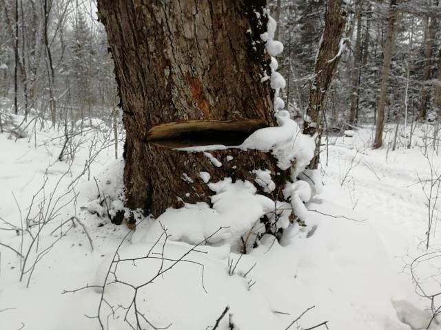 Браконьеры бросают покалеченные вековые деревья, которые не успевают срубить
