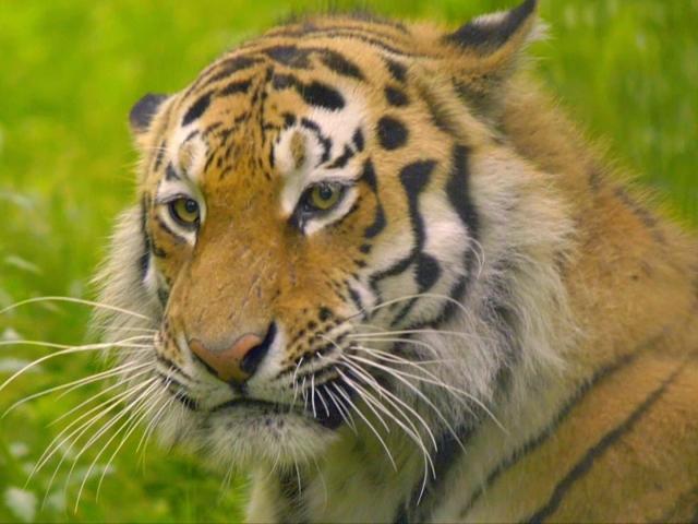 Селянин в Хабаровском крае застрелил тигра, задравшего его корову