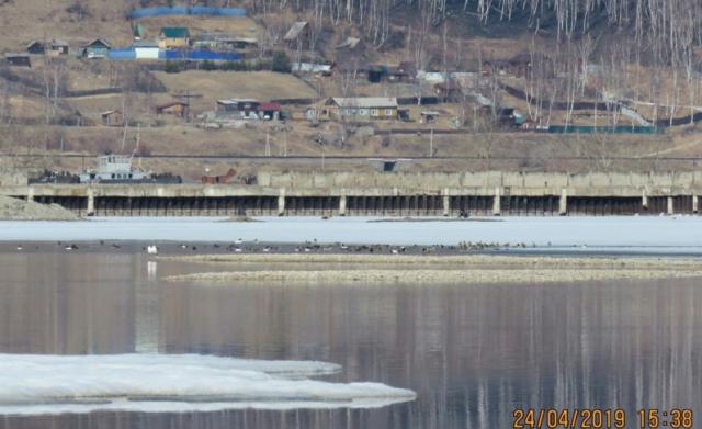 Култук. Стаи уток вблизи валов вырытого под строительство китайского завода грунта