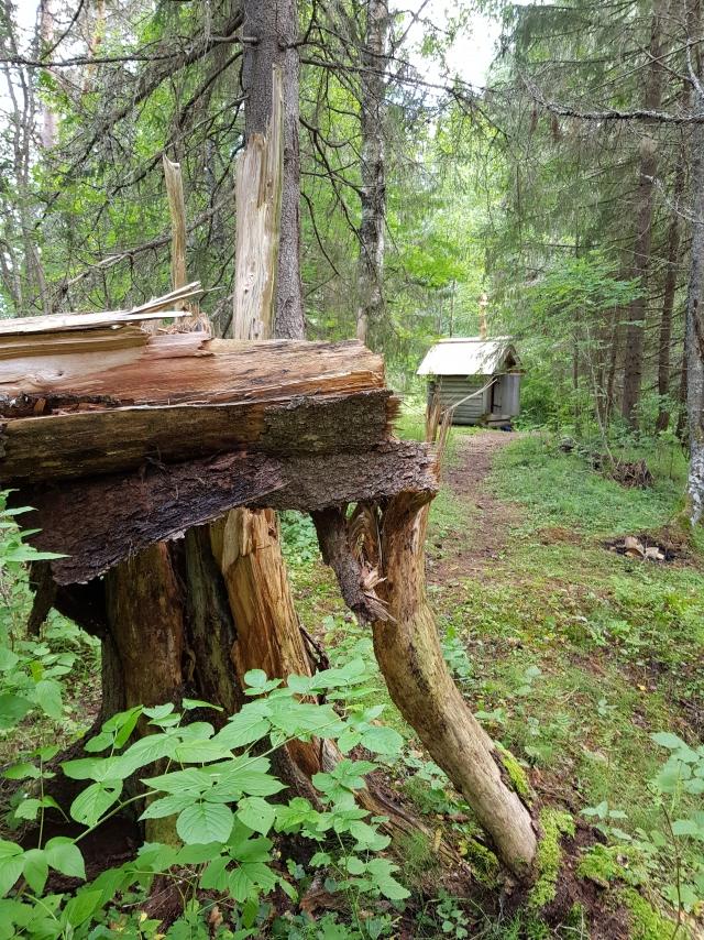 Лешева зверунка в лесу у деревни Чамово