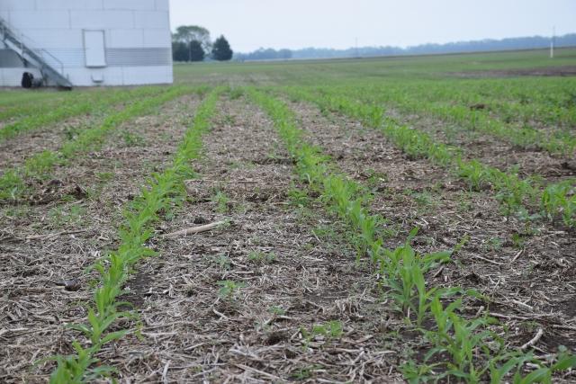 Всходы кукурузы на поле ноу-тилл на ферме Джо Гуда