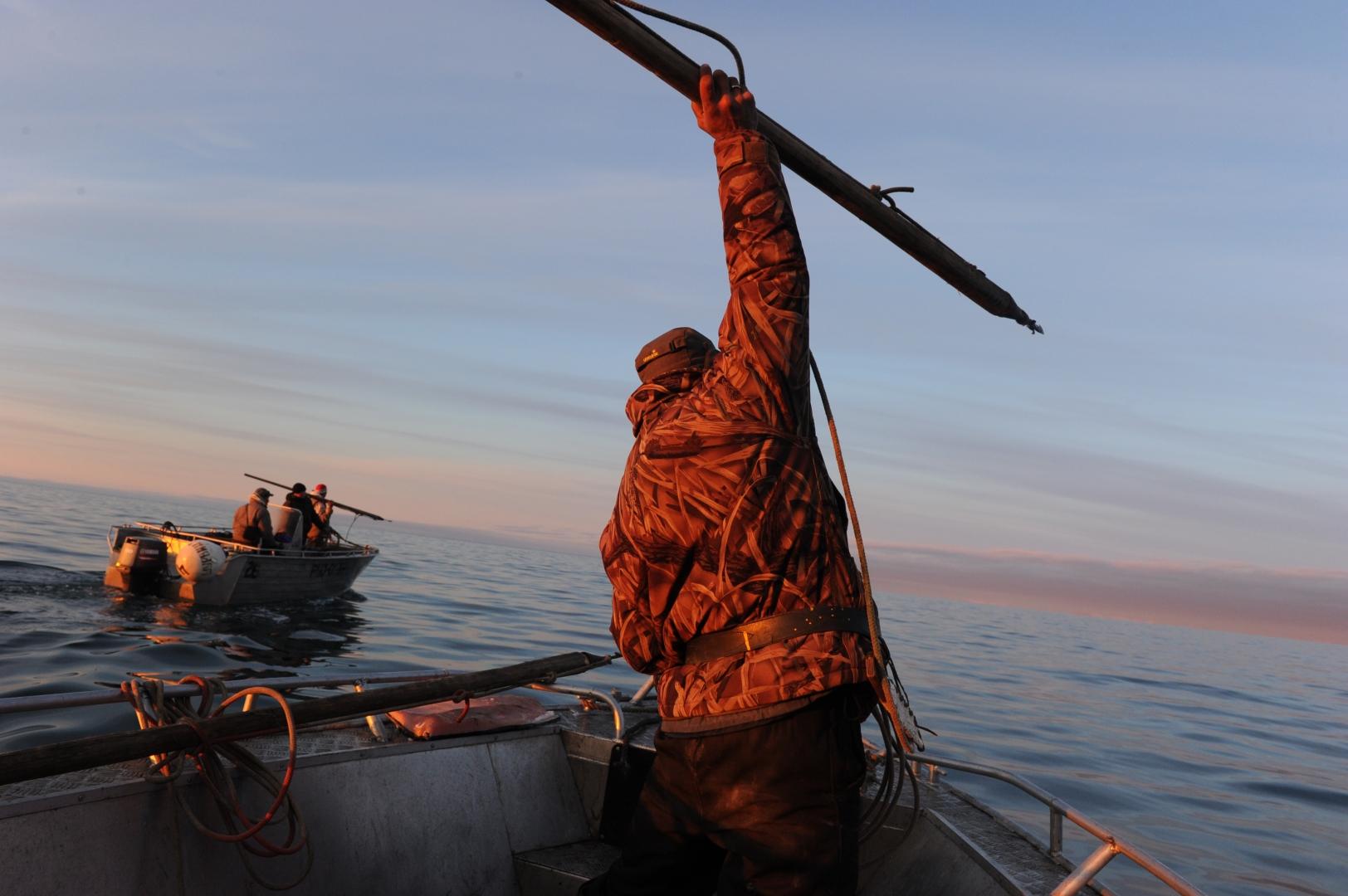 Охотники выходят на серых китов тремя лодками. Ни одно животное не сдается без боя, и в случае нападения, переворота лодки с людьми другая лодка постарается спасти попавших в неприятную ситуацию охотников