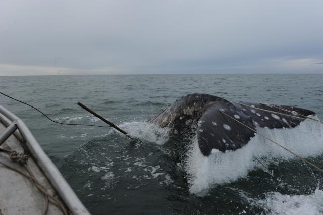 Бросок гарпуна производится с максимально близко расстояния, когда кит практически весь успел погрузиться в воду