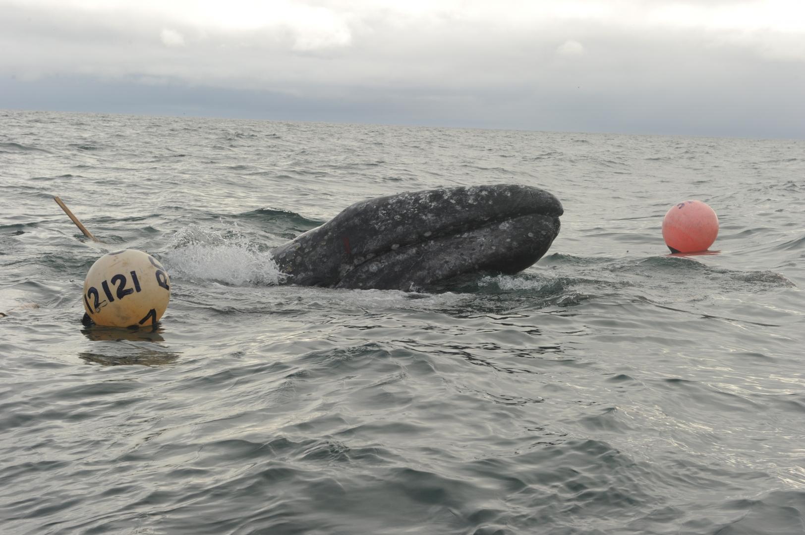 Серый кит пытается уйти от атаки