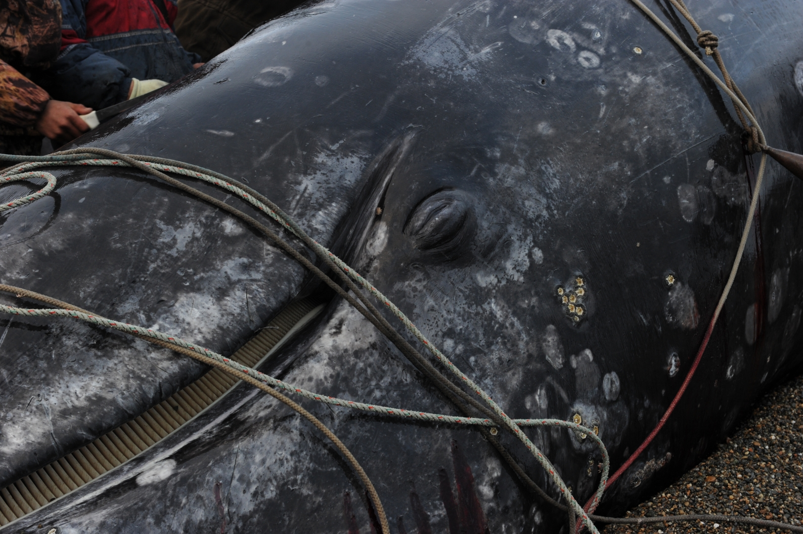 Фрагмент головы кита, опутанной веревкой, которую охотники использовали при буксировке кита в море