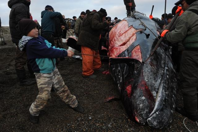 В разделке кита на побережье принимают участие жители поселка Лорино – каждый может унести кожи кита и мяса столько, сколько пожелает, и совершенно бесплатно
