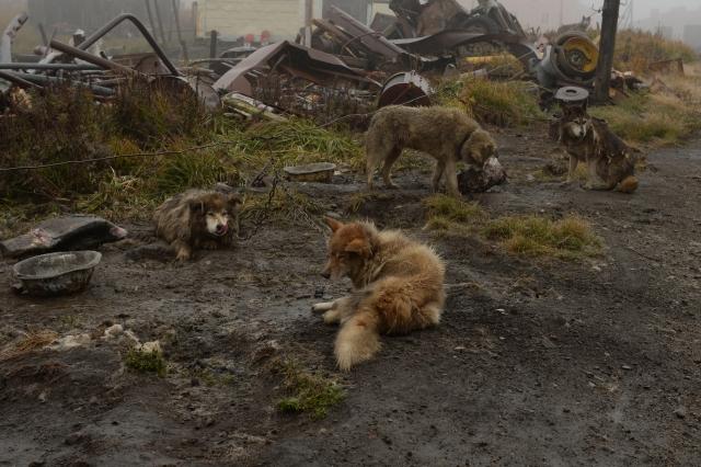 Чукотские собаки на привязи – одна из чукотских упряжек, которую чукчи активно используют в своих поездках на рыбалку и охоту с наступлением зимы