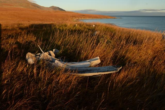 Череп серого кита на побережье Берингова моря