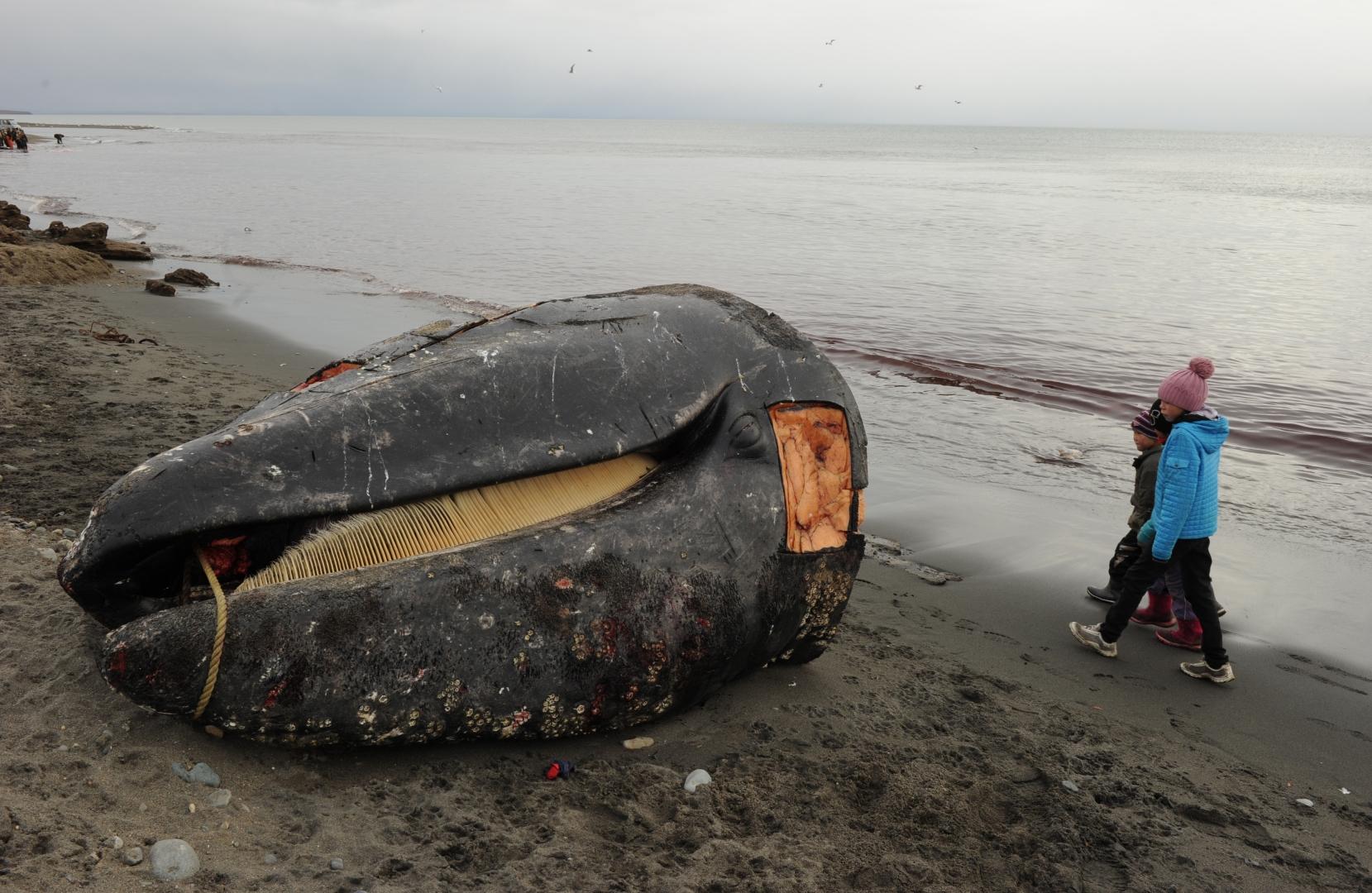 Голова серого кита на побережье Берингова моря