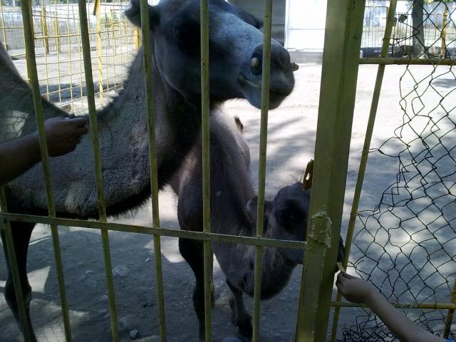 В зоопарке в Калуге родился верблюжонок