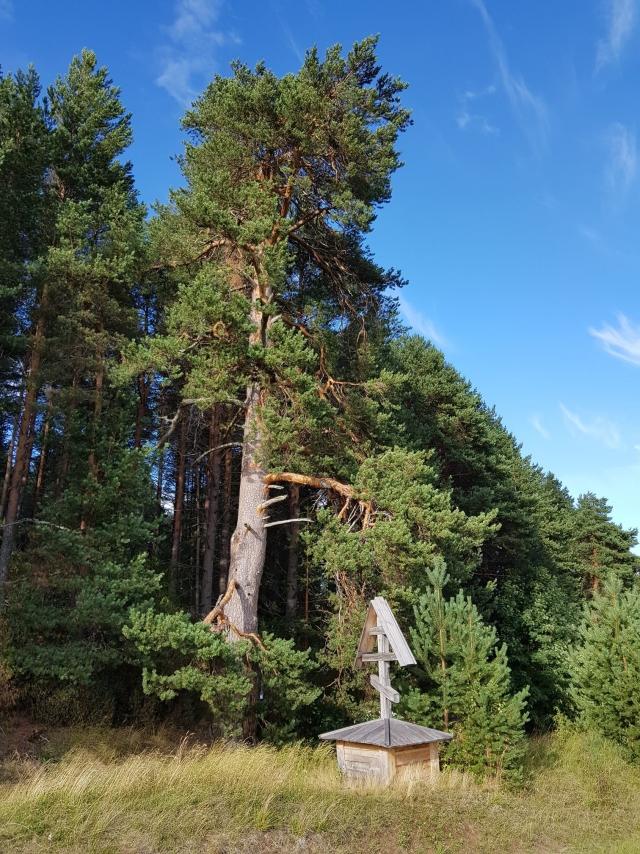 Русский Север, деревья: «пока эта ель не падет, дак я не умру...»