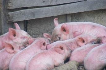 Через три года Украина может лишиться свиноводства — эксперты