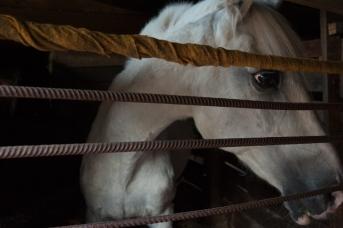 Ума (Пума) — терская серая кобыла-долгожитель, родилась в 1986 г. Попала в «Уникум» в 2005 г. 2 января 2019 г. она покинула этот мир на 34-м году жизни. Приют для старых лошадей «Уникум», г. Москва, август 2018 г