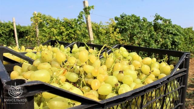 В Республике Крым собрано более шести тысяч тонн винограда