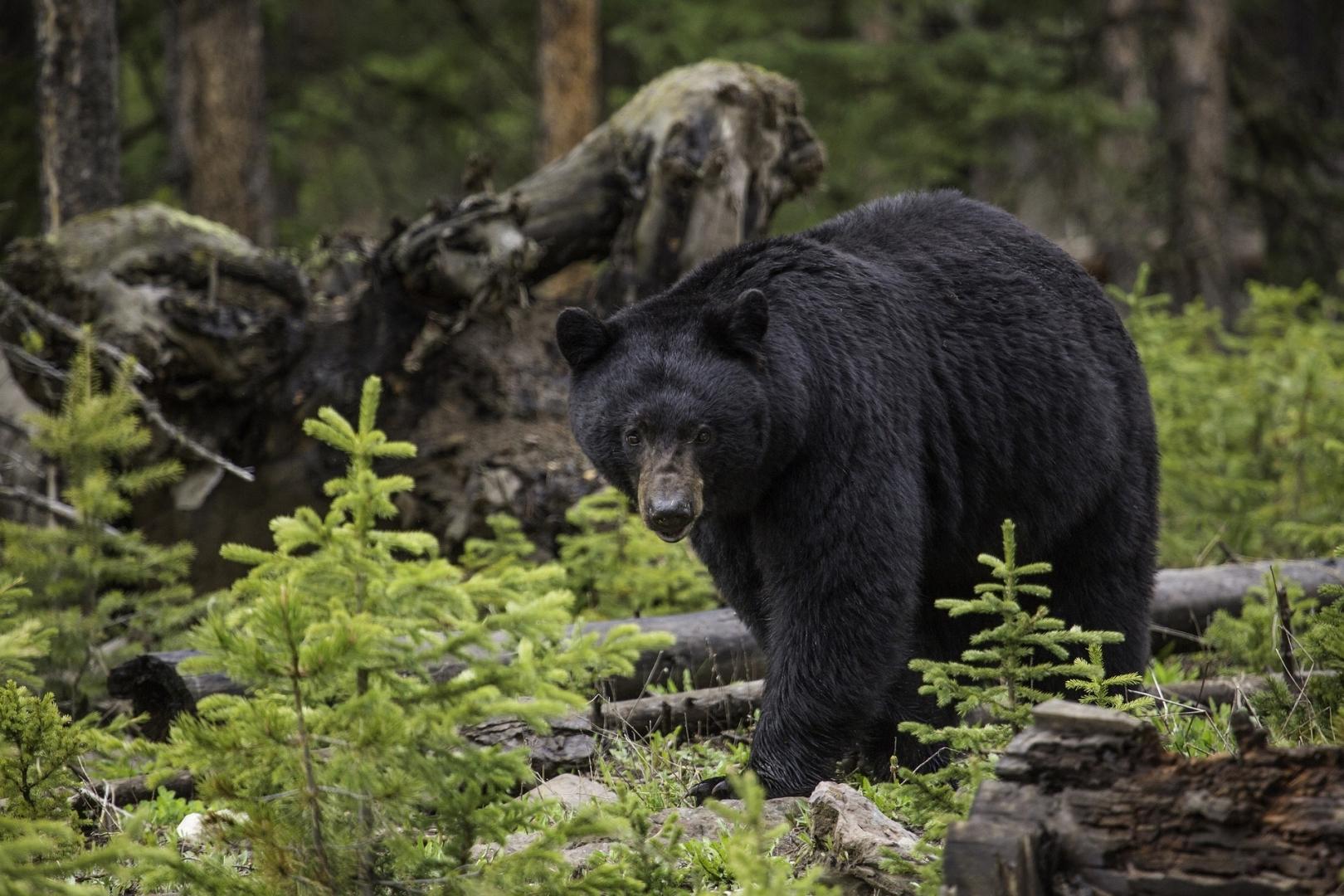 так нужен медведи в америке картинки говорите хотя