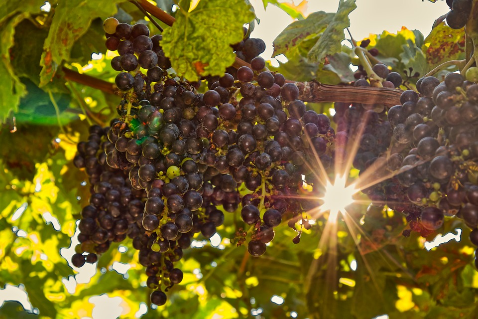 красивые картинки виноградной лозы лавров фотограф