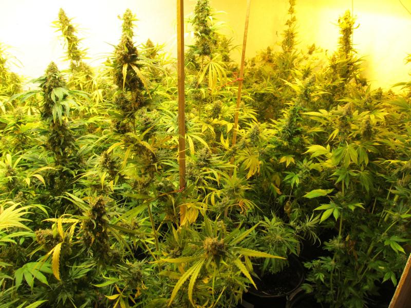 Выращивали марихуану в гараже як ростить коноплю