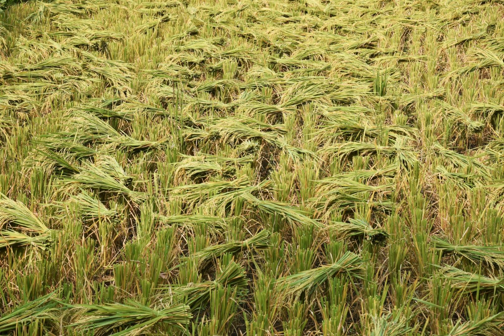 Сегодня кобр и других опасных для человека змей можно встретить не только на рисовых полях, но и в домах, и огородах сельских жителей. Каждый год от ядовитых укусов погибает несколько сотен детей и взрослых