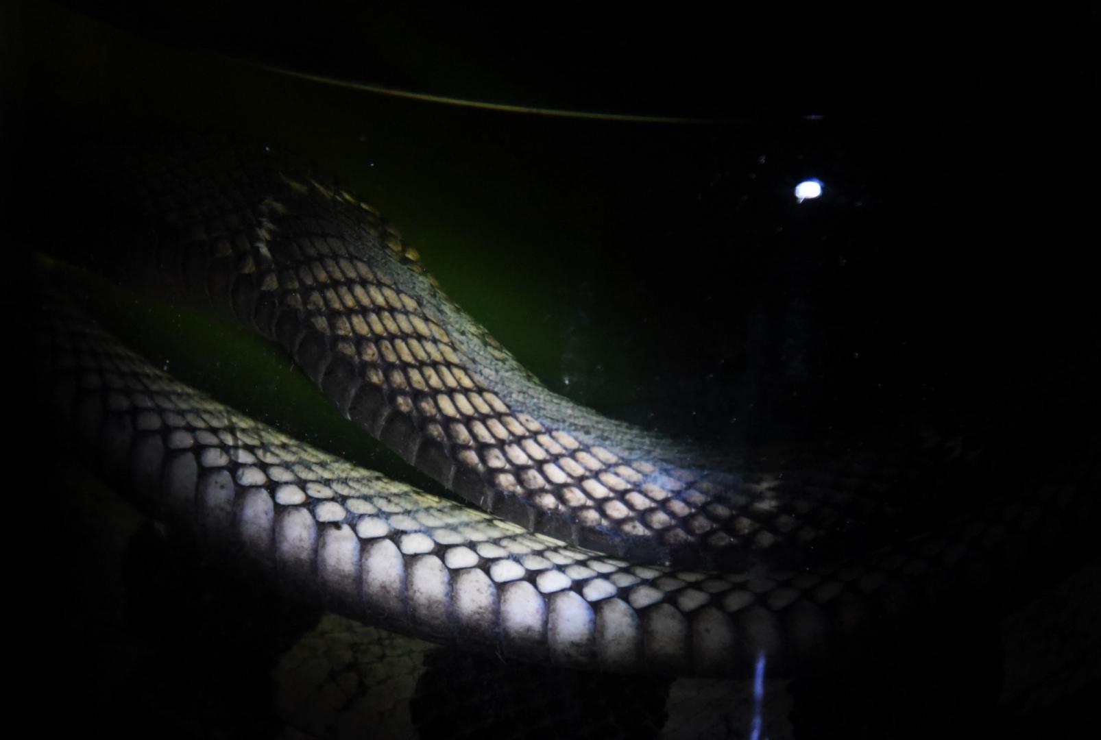 После трёх месяцев настаивания рисовый алкоголь с заспиртованной змеёй начинает окрашиваться и готов к употреблению