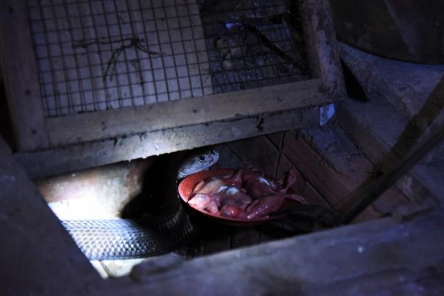 Тарелка с едой подаётся кобре с помощью щипцов на длинном тросе. Винь Сон. Вьетнам