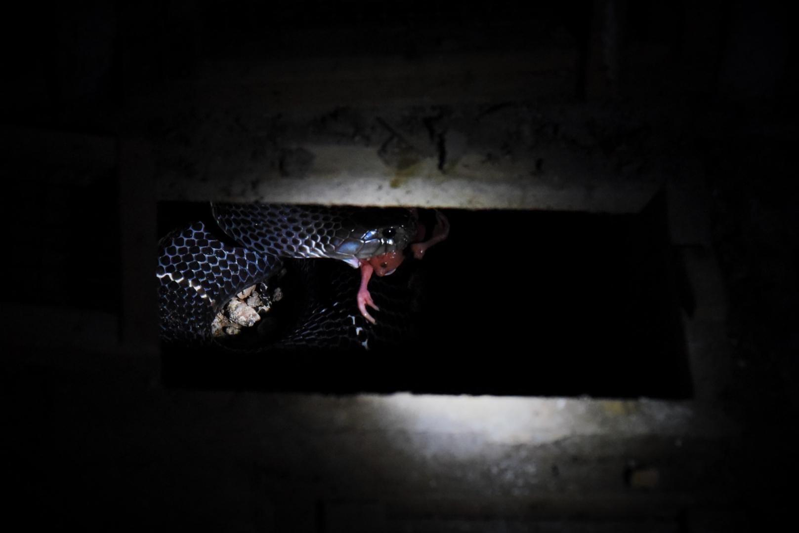В дикой природе кобра может прожить до 35 лет, на ферме продается примерно через 3 года после рождения