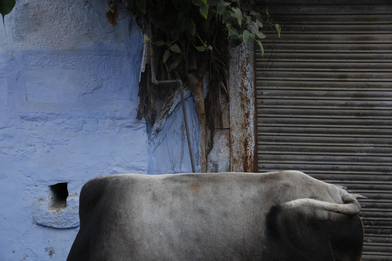 Животные пасутся прямо на улице в Джодхпуре, иногда создавая непреодолимую преграду на узкой улице. Попробуйте сдвинуть быка с места