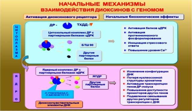 Рис. 2. Начальные процессы взаимодействия диоксинов с геномом