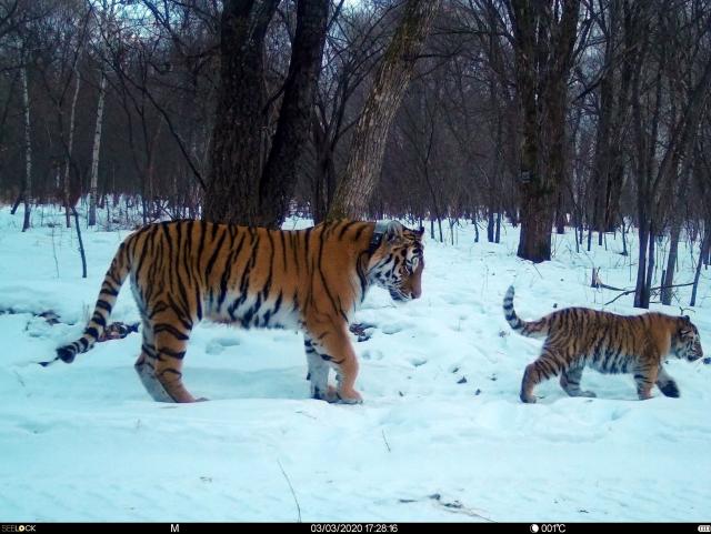Тигрица Лазовка с тигренком путешествуют в Китай.