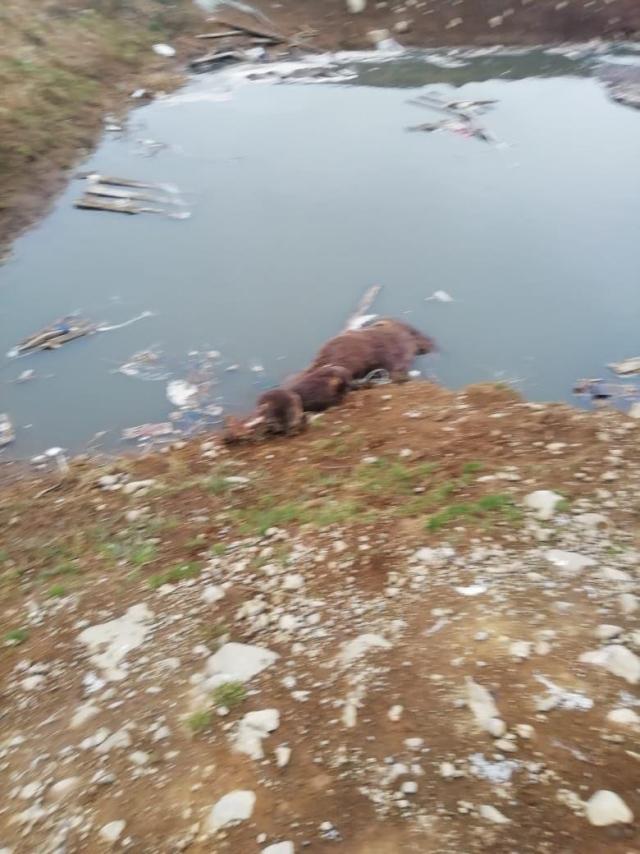 Труп медведя у загаженного рыбопромышленниками карьера у посёлка Озерновский