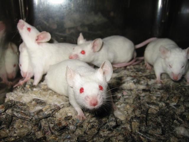 Лабораторные мыши-альбиносы
