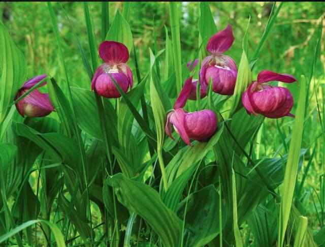 Краснокнижные растения, произрастающее в пойме реки Ануй на Алтае
