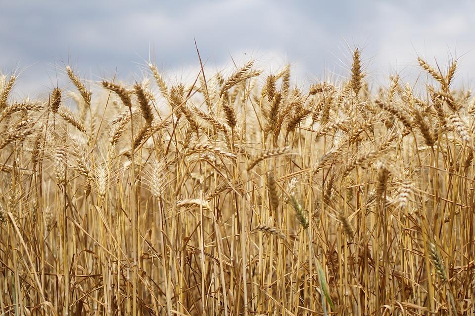 СМИ проинформировали  обеспокойстве США из-за запрета наэкспорт русского  зерна