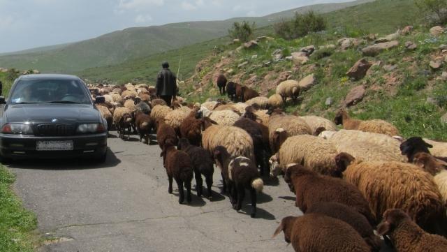 Отара овец на дороге